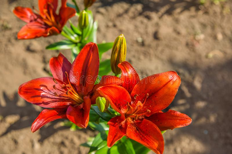 Lilies in the garden. royalty free stock photography