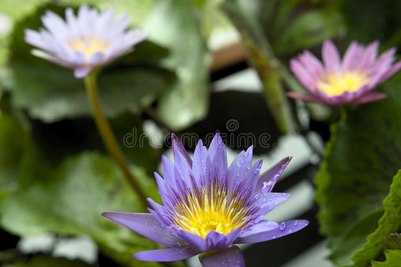 Lilies lily flower purple blue and pink stock photography