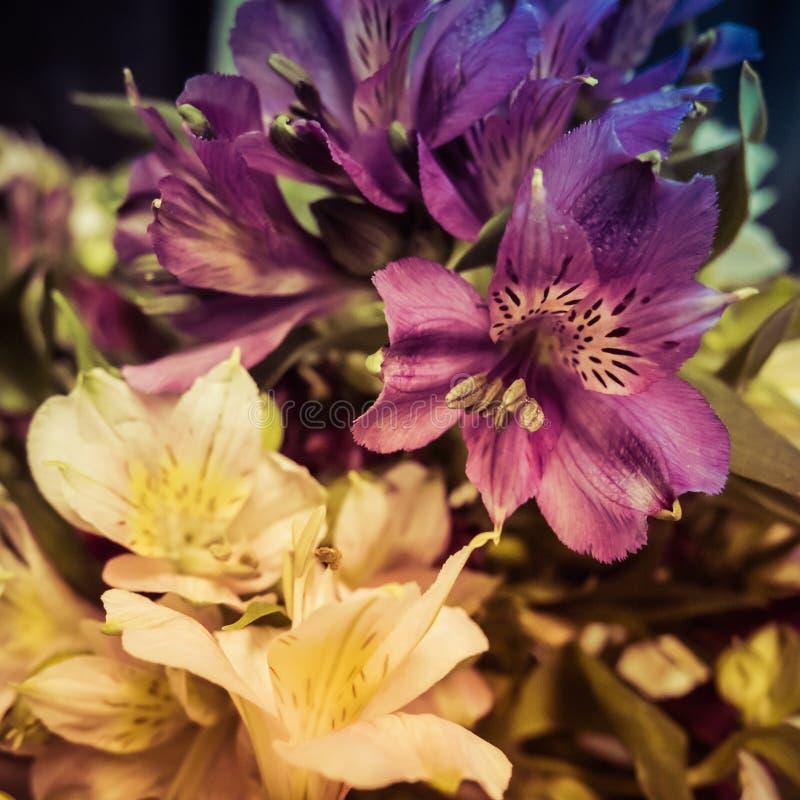 Peruvian Lilies Alstromeria royalty free stock images