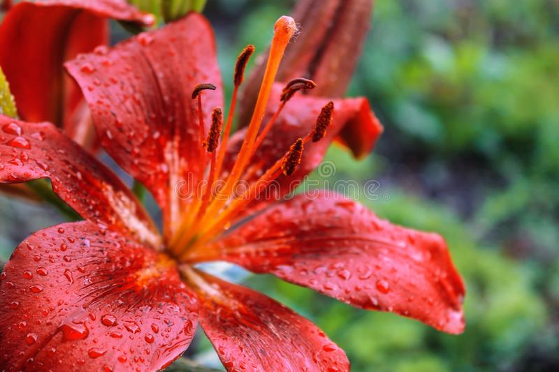 Lilies of red petals with raindrops on them. Lilies of red and lovely tender petals with raindrops on them royalty free stock image