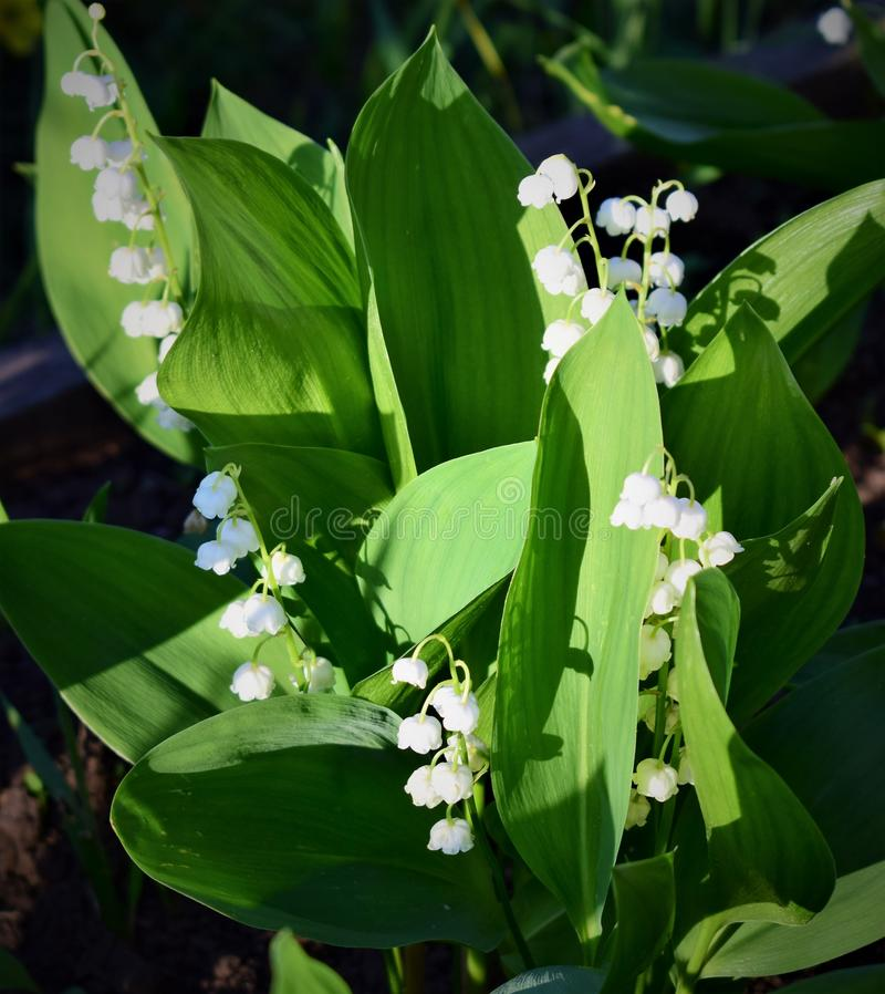 Lilies of the valley spring white flowers spring joy. Lilies of the valley spring white flowers  joy innocence aroma fragrance aromatherapy spring plants stock photography