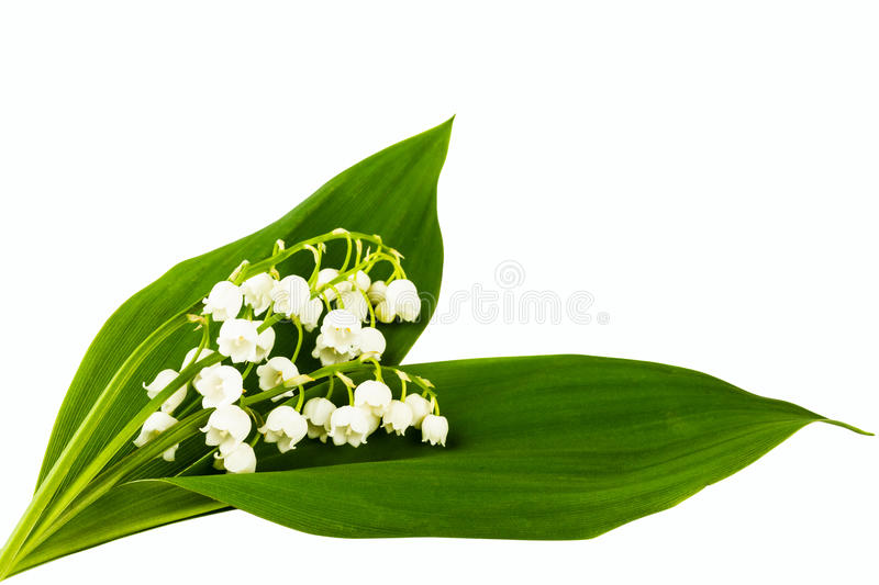 Lilies of the valley. On white background royalty free stock photo