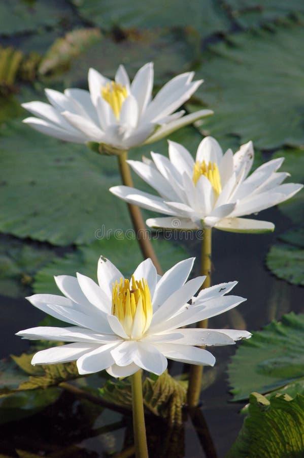 lilii 3 wody. obraz stock