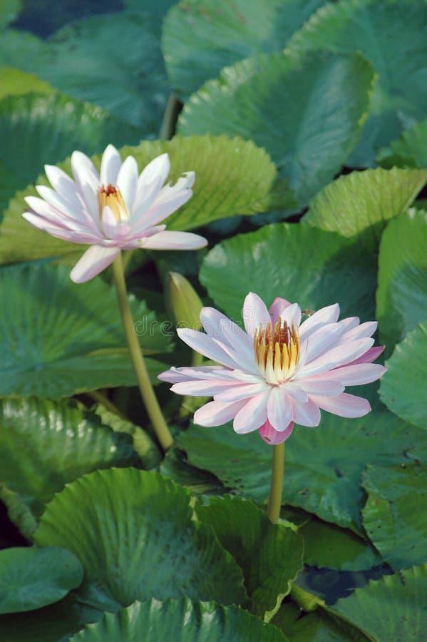 lilii 4 wody. zdjęcie stock