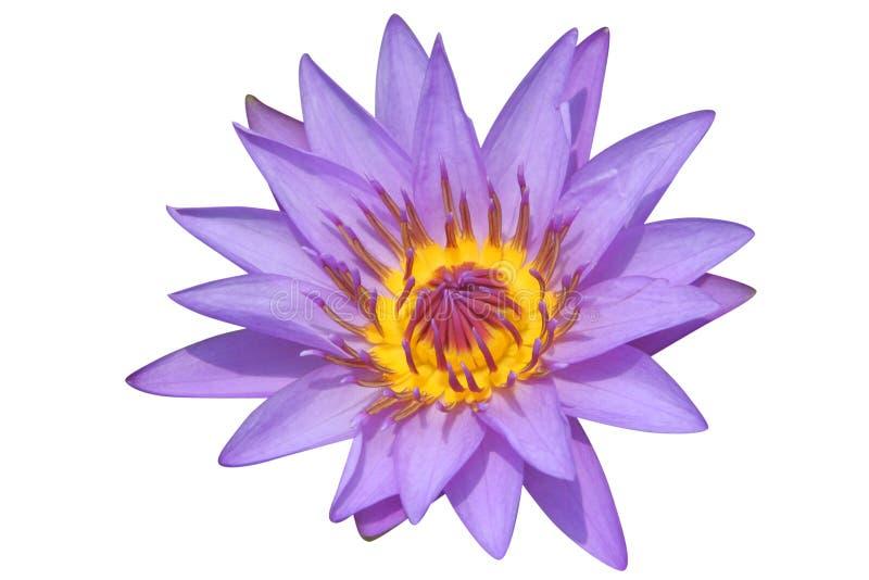 lilii fioletowego wody fotografia stock