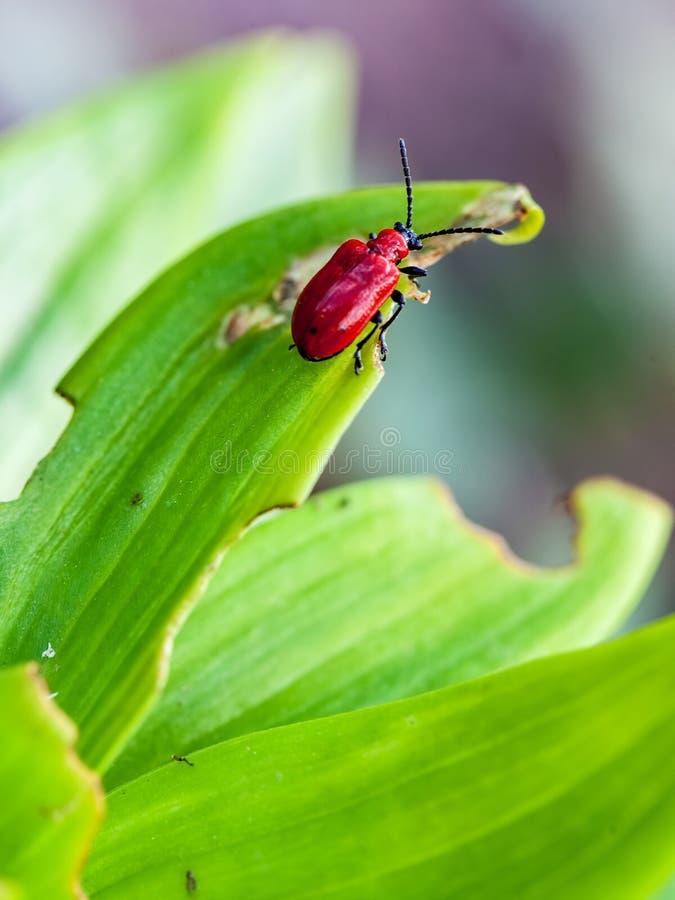 Lilioceris merdigera na leluja liściach fotografia royalty free