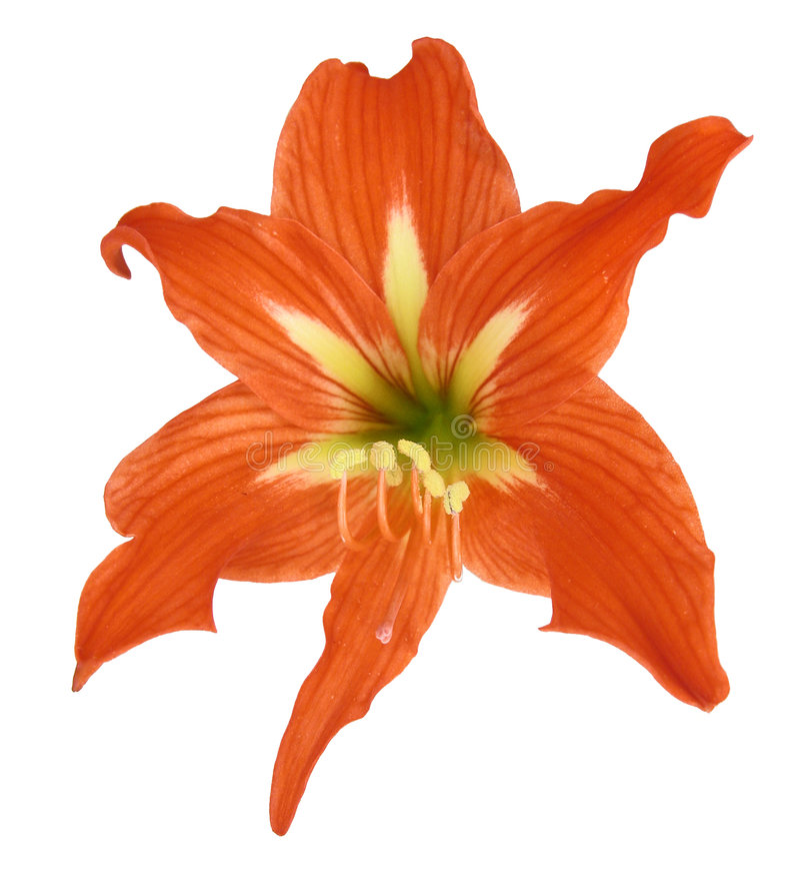lilium λουλουδιών στοκ φωτογραφία με δικαίωμα ελεύθερης χρήσης