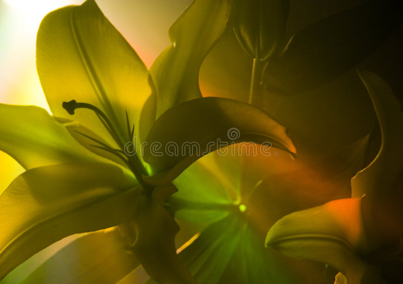 Download Lilium stock image. Image of nature, mysterious, dynamic - 2160277
