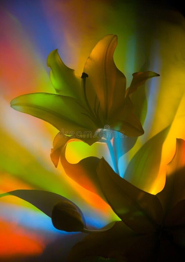 Lilium Stock Photography