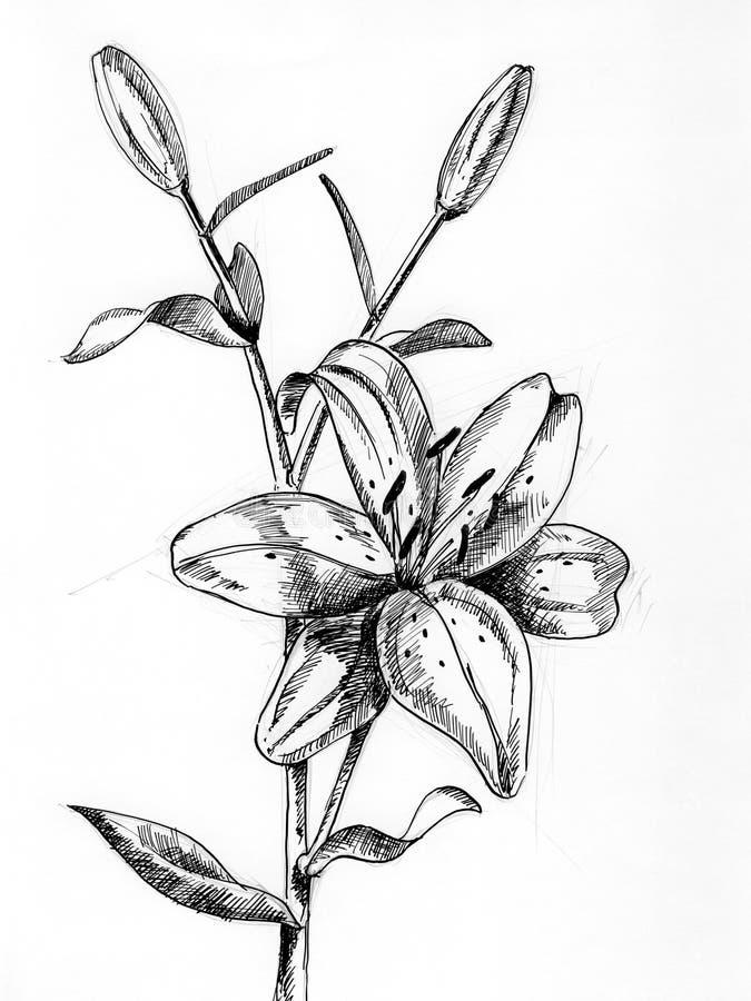 Lilium 1 stock abbildung
