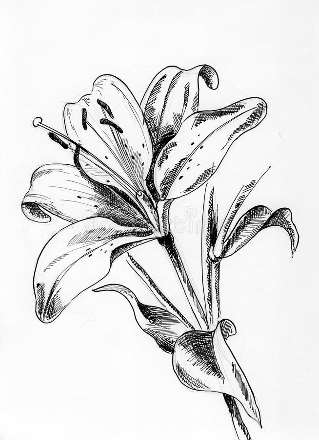 Lilium 2 vektor abbildung