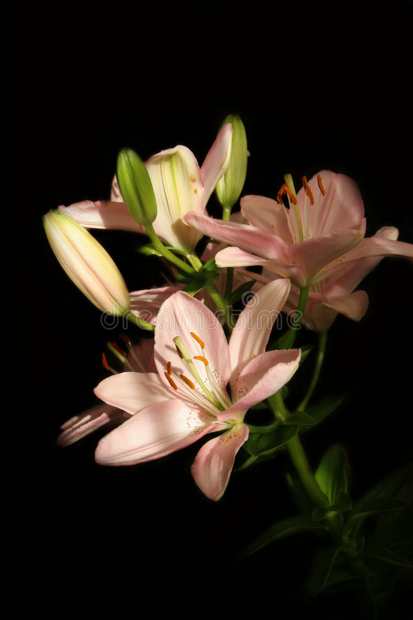 Download Lilium Royalty Free Stock Image - Image: 5120786