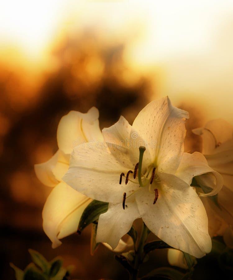 Download Lilium stock image. Image of orange, auratum, seasons - 5127607
