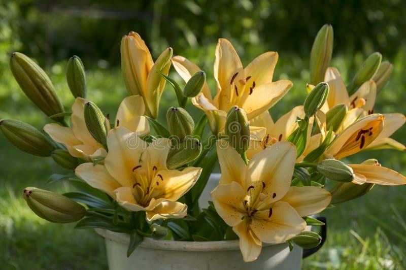 Lilium asiático dos híbrido na cor da flor, a alaranjada e a amarela, na cubeta branca, no jardim, nos botões e nas flores foto de stock
