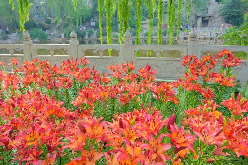 Lilium brownii stock photo