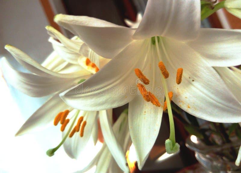 Lilium Candidum στο βάζο γυαλιού στοκ εικόνες με δικαίωμα ελεύθερης χρήσης