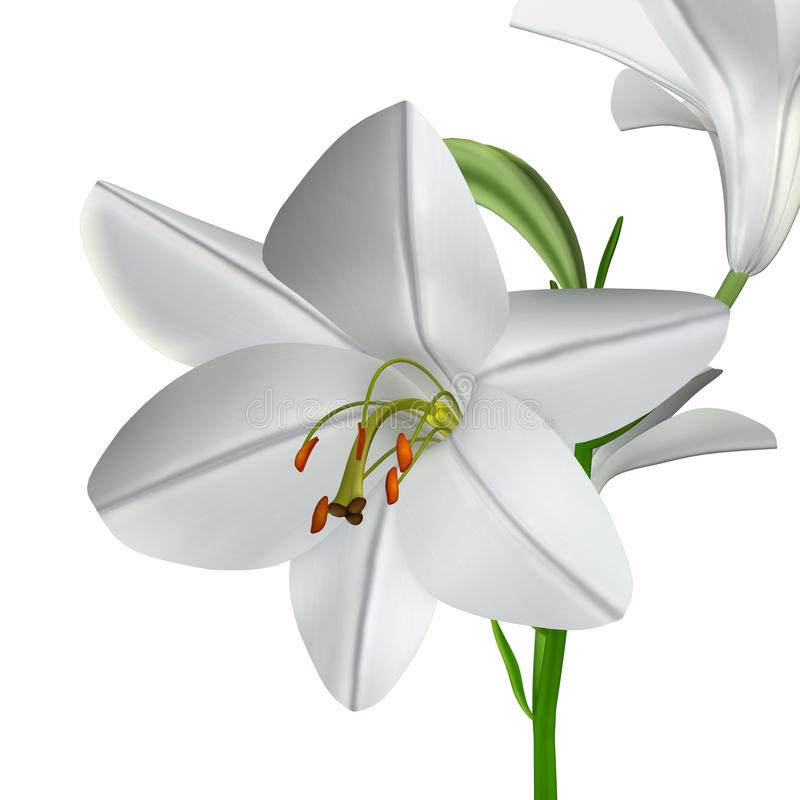 Lilium candidum illustration libre de droits