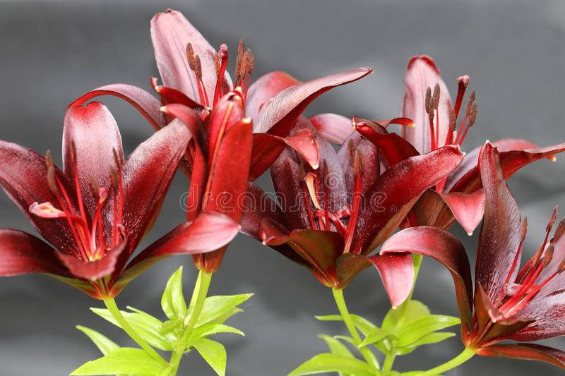 Lilium dark secret is a Asiatic Lilies with a satiny shine dark red petals stock photo