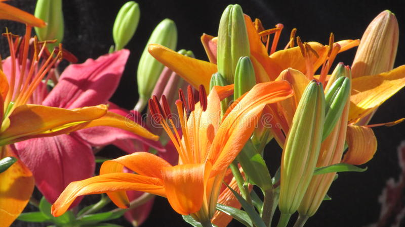 Lilium flowered royalty free stock photography