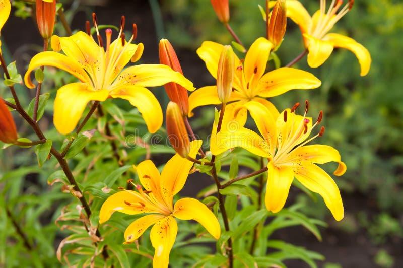 Lilium lancifolium fotografia royalty free