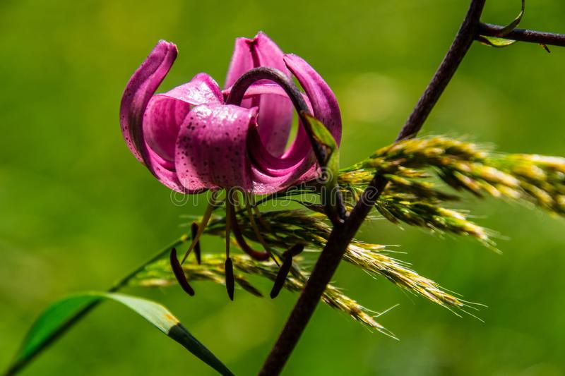 Lilium martagon royalty-vrije stock foto