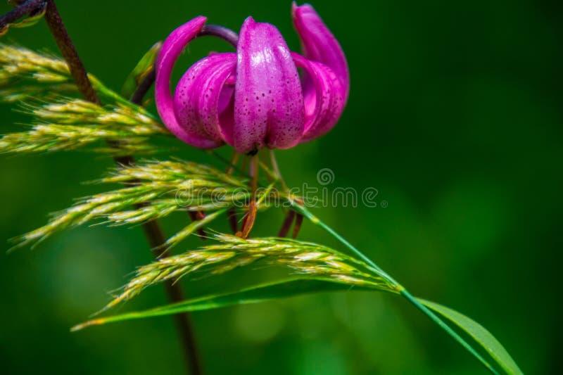 Lilium martagon royalty-vrije stock foto's