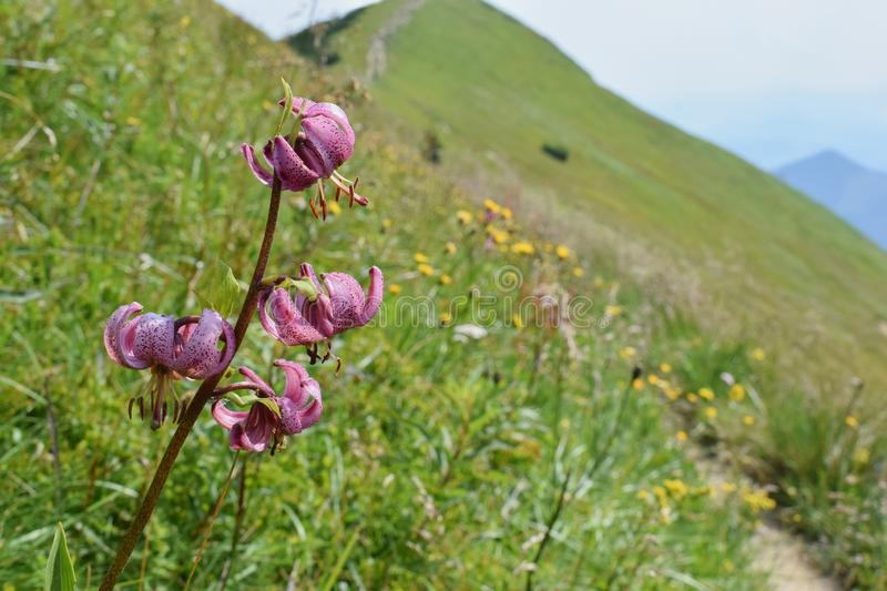 Lilium martagon - Martagon lily or Turk`s cap lily - wild flower blooming on the mountain slopes - Western Carpathians,Slovakia stock photography