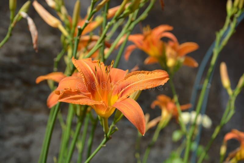 Lilium stock image