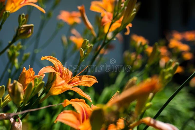 Lilium orange Bulbiferum de lilys essayant d'atteindre le soleil images libres de droits