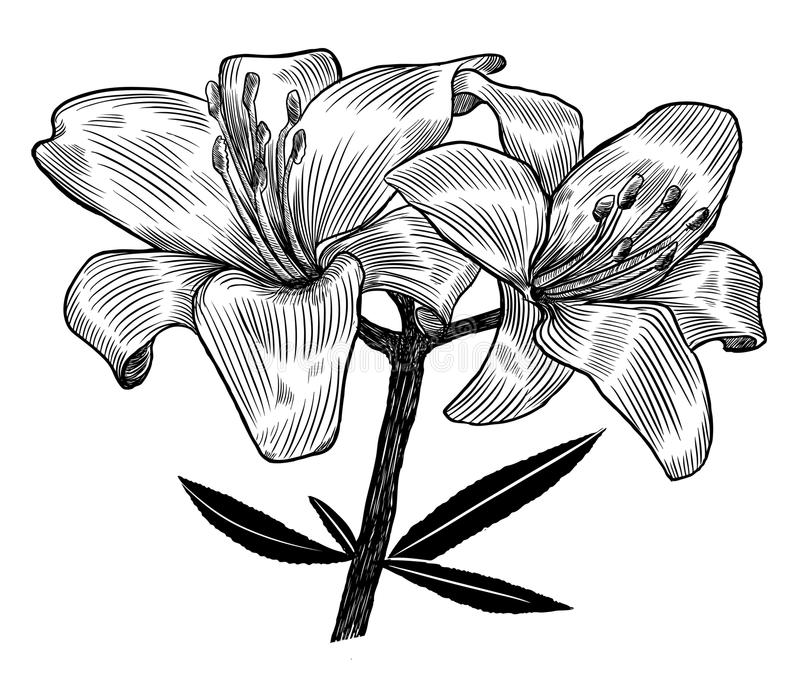 lilja stock illustrationer