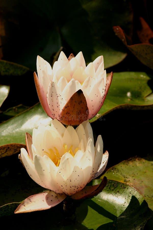 Download Lilja 7 arkivfoto. Bild av natur, lake, storartat, sommar - 283894