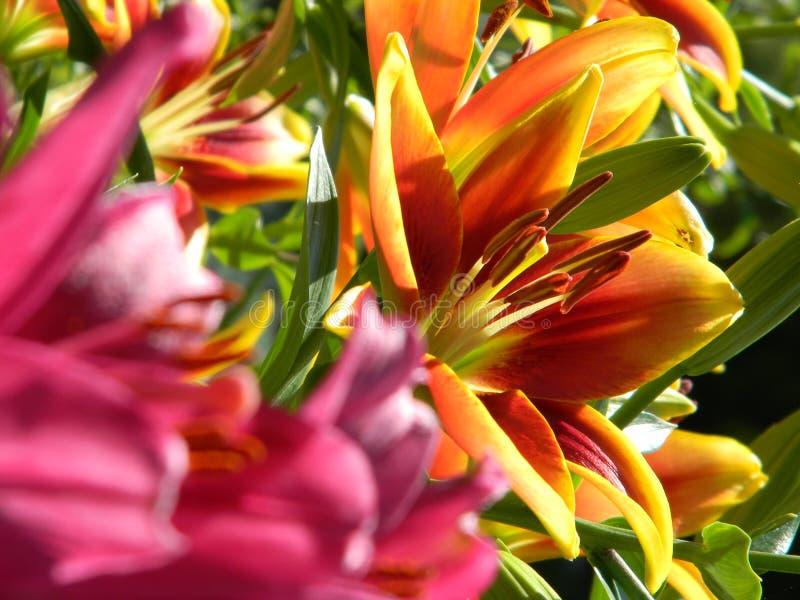Liljaabstrakt begrepp royaltyfria foton