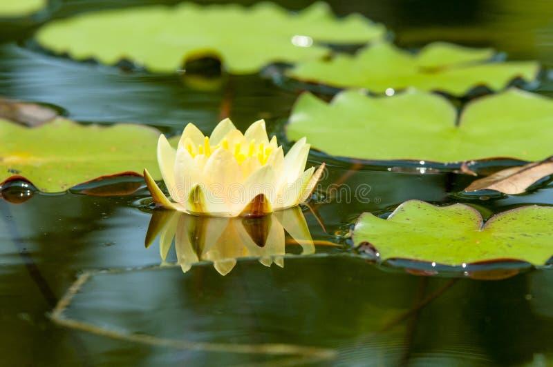 Liljablock och lotusblommablomma royaltyfri fotografi