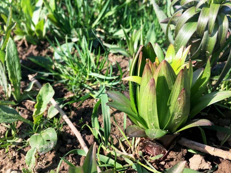 Liljablomma med gröna plana sidor som visades från jordningen på våren fotografering för bildbyråer