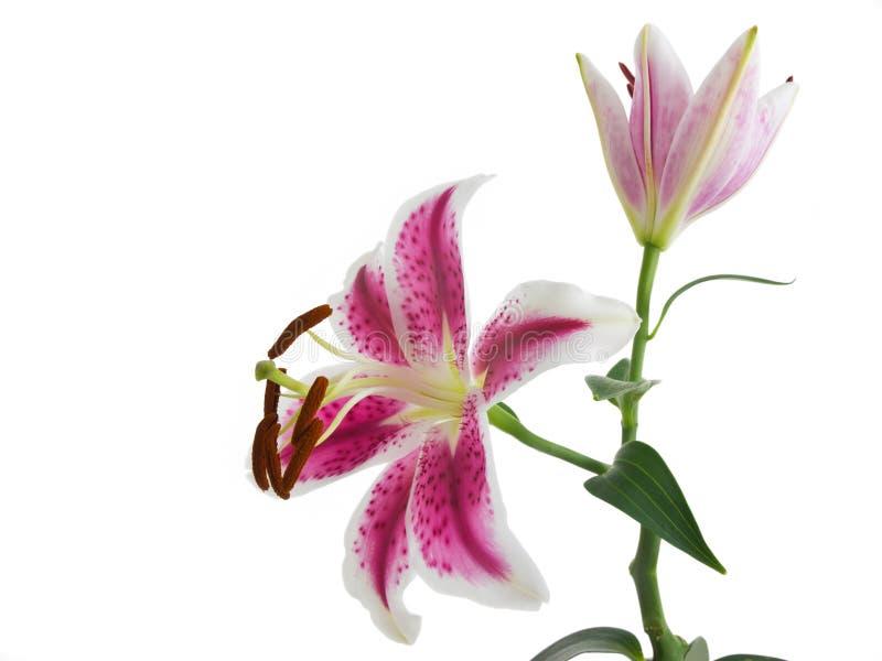 Liljablomma som isoleras på vit arkivbild