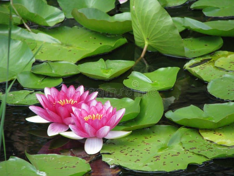 liljan pads rosa vatten royaltyfri fotografi