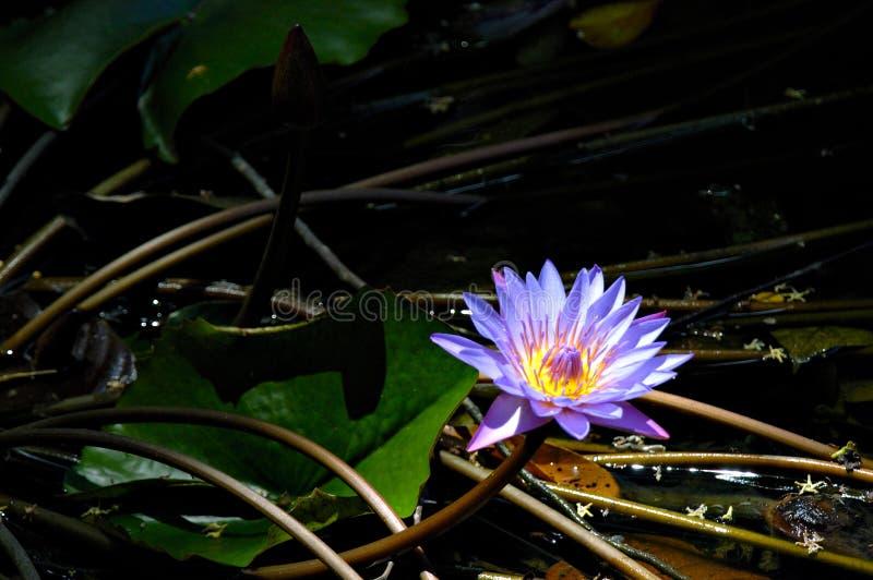 Download Liljan rotar arkivfoto. Bild av lake, vatten, natur, purpurt - 291092