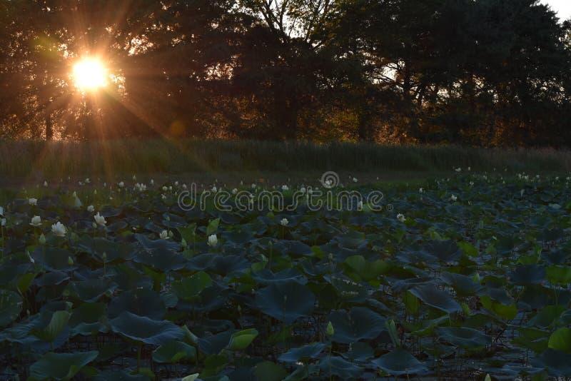 Liljan vadderar på solnedgången arkivfoton