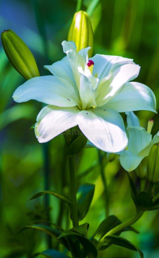 liljar madonnaliljan, den vita liljan, blommor fjädrar, liljan på vit, whi royaltyfri foto