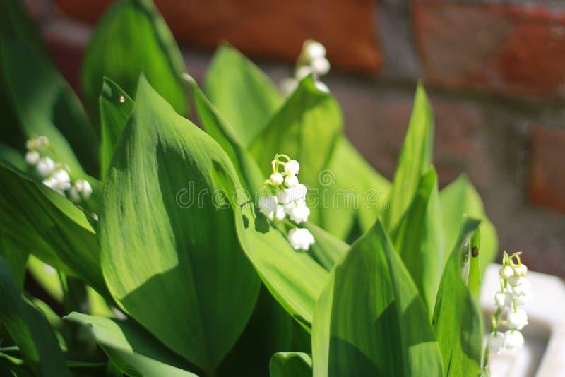 Liljekonvalj för vit blomma, liljekonvalj, arkivfoto