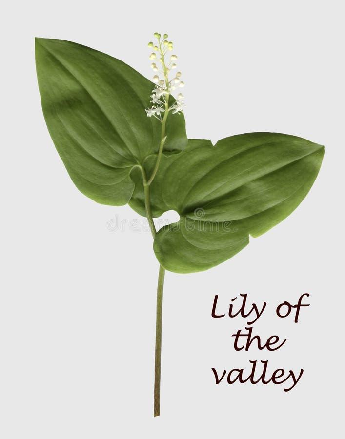Liljekonvalj typisk wood växt för ryss royaltyfri foto