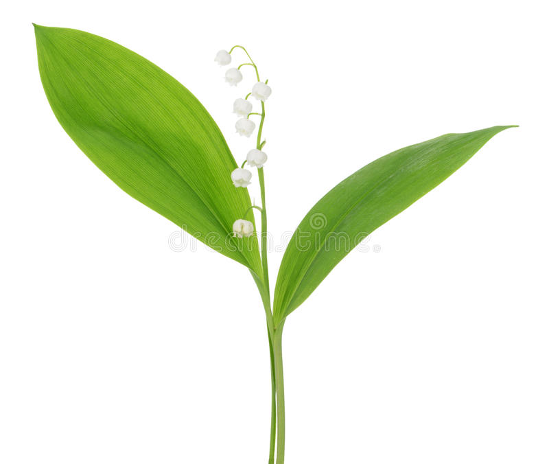 Liljekonvaljer på vit bakgrund royaltyfria foton