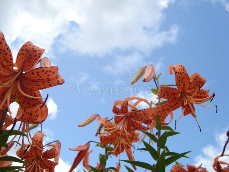 Liljor och Daylilies mot himlen royaltyfri fotografi