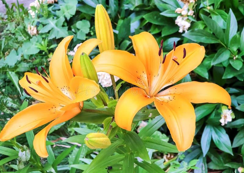Liljor som växer i blomsterrabatten arkivbilder