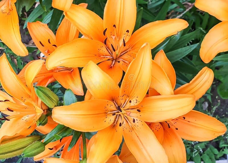 Liljor som växer i blomsterrabatten royaltyfri foto