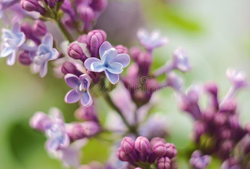 Download Lillà fotografia stock. Immagine di fiore, bello, fioritura - 56889890