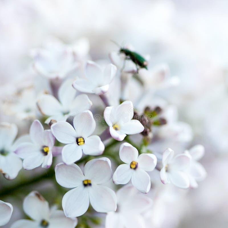 Lillà bianco. fotografia stock