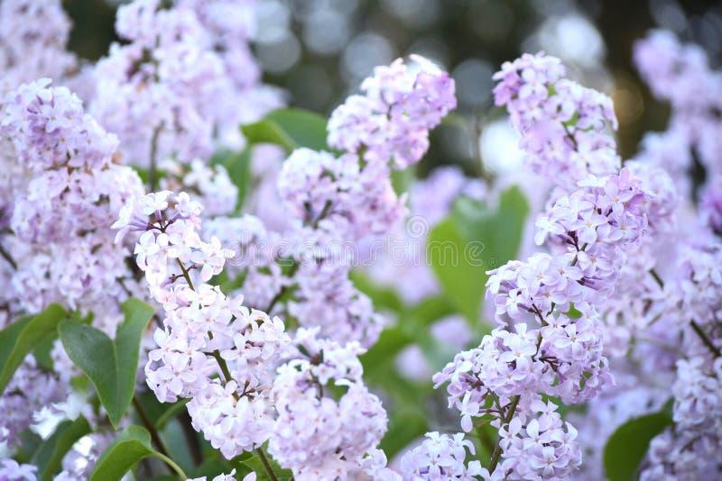 Lillà che fioriscono in primavera fotografia stock
