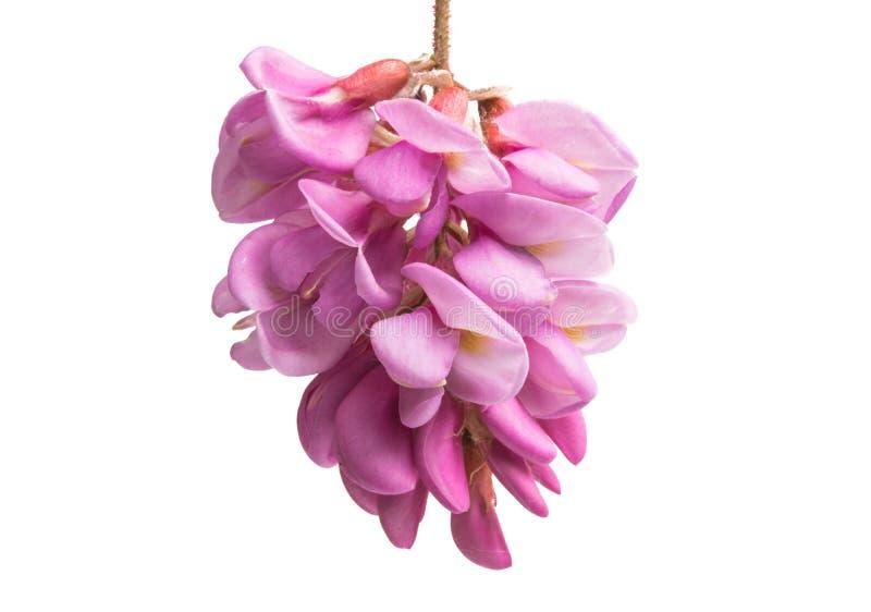 Lillà del fiore dell'acacia isolato fotografie stock libere da diritti