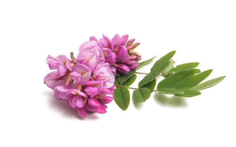 Lillà del fiore dell'acacia isolato fotografia stock